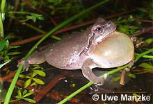 Laubfrosch: rufendes Männchen braun gefärbt.