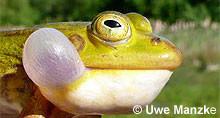 Kl. Wasserfrosch: Schallblase.