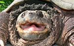 Schnappschildkröte und Geierschildkröte