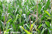 """Grünlandumbruch für Maisanbau ist """"das Aus"""" für die Amphibien."""
