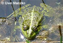 Seefrosch: Männchen.