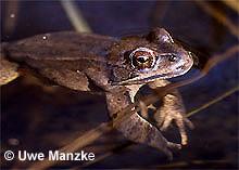 Springfrosch: Portrait Männchen.