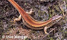 """Zauneidechse: Weibchen der rotrückigen Farbform (""""Erythronotus-Mutante"""")."""