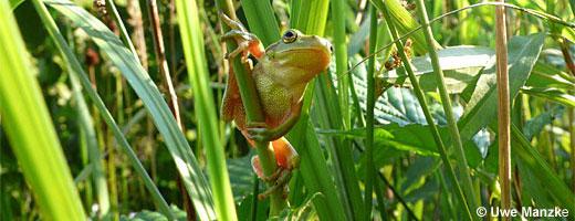 Bild 3 / 9: Amphibien - z.B. Laubfrosch