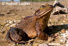 Amerikanischer Ochsenfrosch: Männchen.
