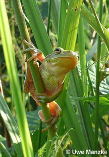 Laubfrosch: junges Weibchen.