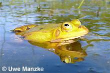 Kl. Wasserfrosch: Männchen.