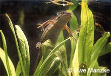 Teichmolch: Weibchen bei der Eiablage an Sumpfvergissmeinicht.