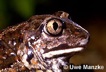 Knoblauchkröte: Auge.