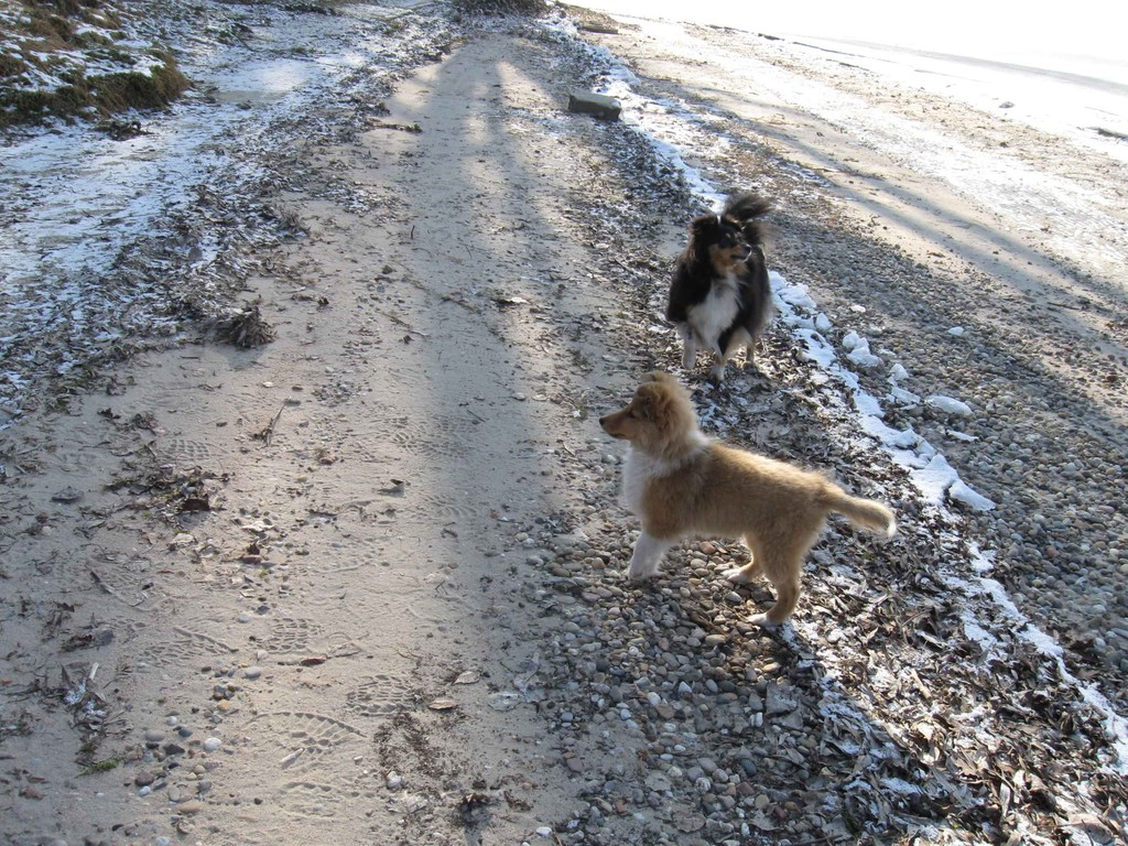 2 Shelties am vereisten Strand