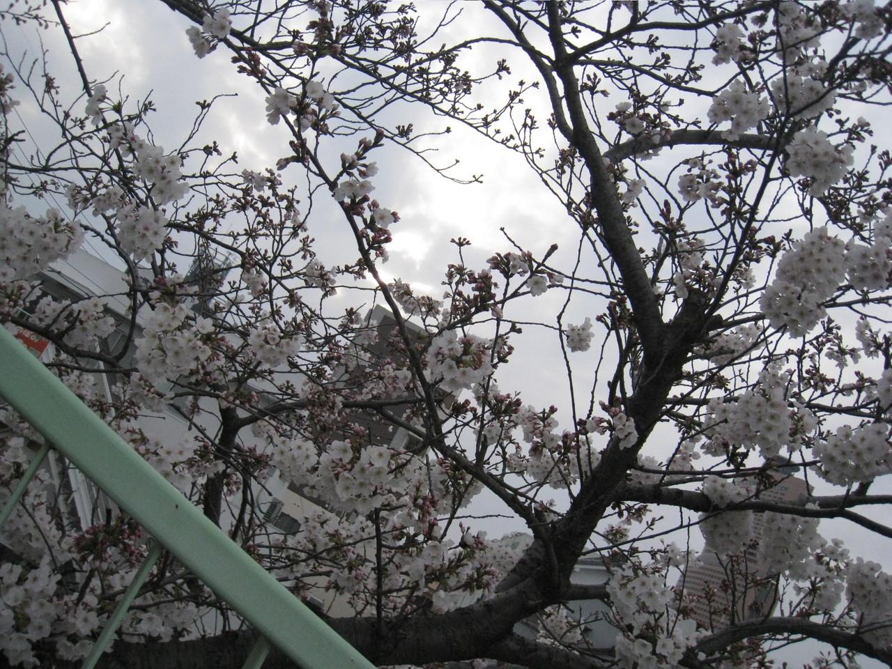 桜の向こうに見えるのは? さあ、アクト目指してがんばろう!  完歩章まであと少し!?