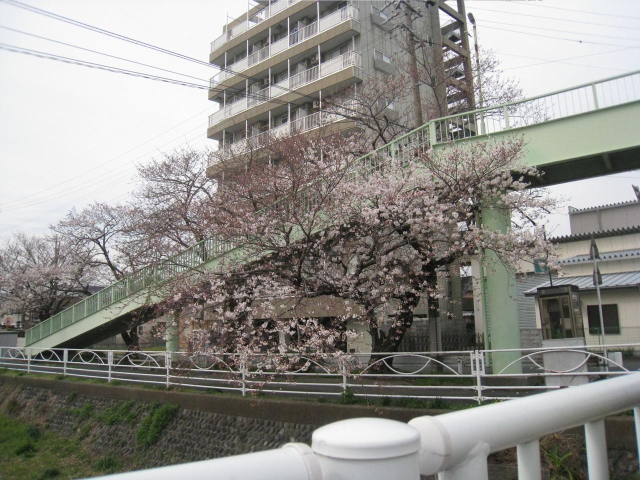 桜、7分咲き?