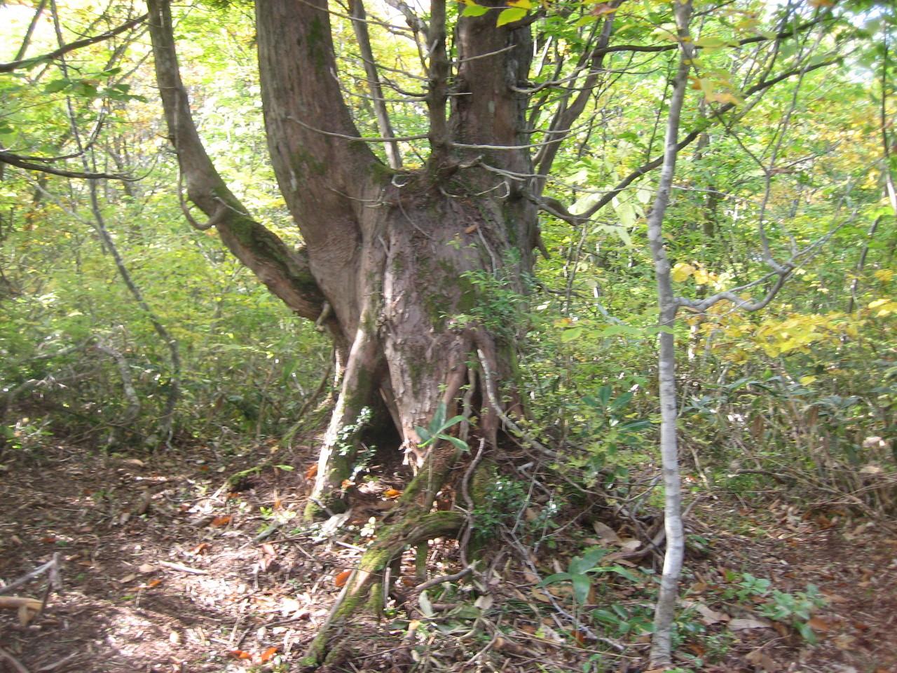 ネズコの木です。