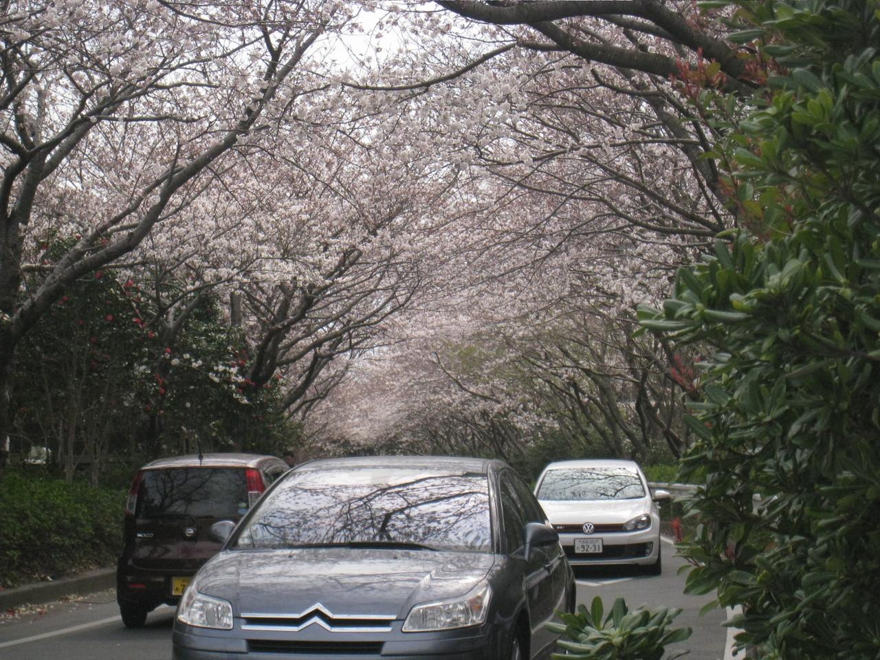 桜のトンネル、車でお花見!?