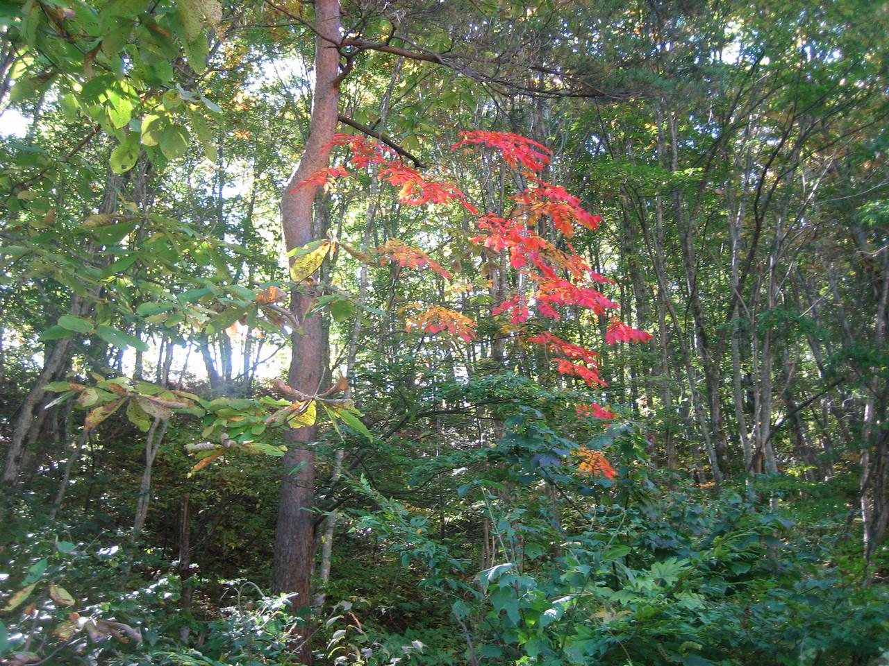 うるしの紅葉