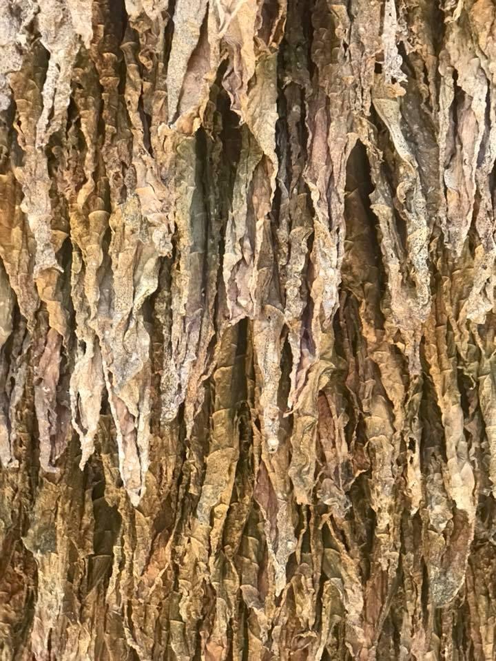 Trocknende Tabakblätter