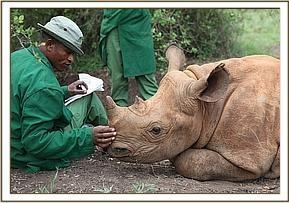 Eine Patenschaft für Solio, ein schwarzes Nashorn-Mädchen, das vom David Sheldrick Wildlife Trust in Kenia betreut wird.