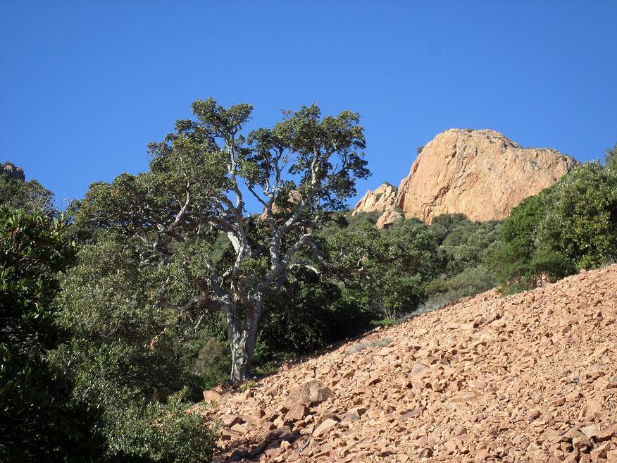 Un beau chêne liège qui se détache d'un des nombreux pierriers traversés.