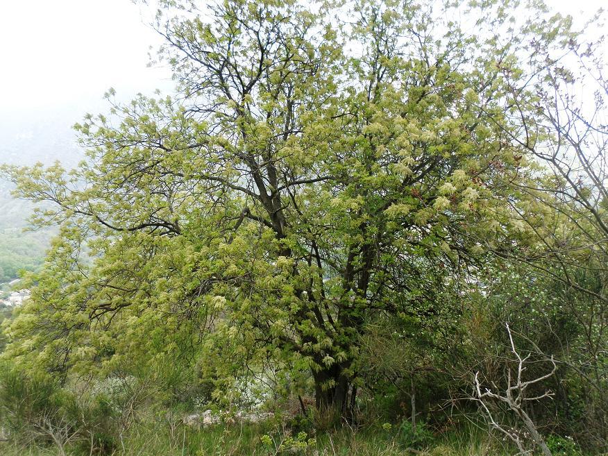 Ce très grand arbre est magnifique lorsqu'il est en fleur vers la fin avril