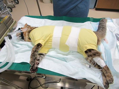 緊急処置のあと、スムーズにおしっこが排出できるよう、数日間は尿道にカテーテルを入れていました。