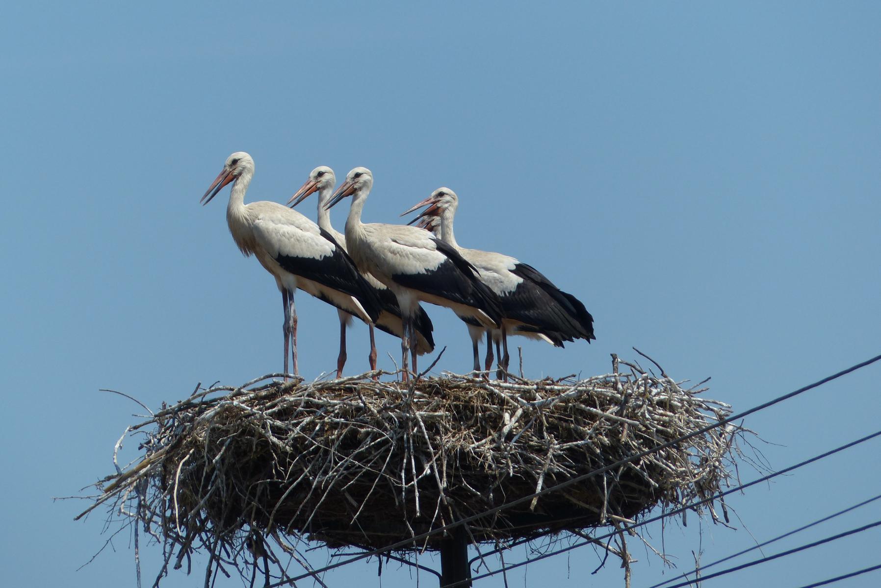 Stoisch trotzte die Storchenfamilie der Juli-Glut. Schwitzen die denn gar nicht bei 47 Grad in der Sonne?