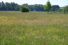 Frühjahrsblüte mit Kuckuckslichtnelke, Trollblumen und Wollgras