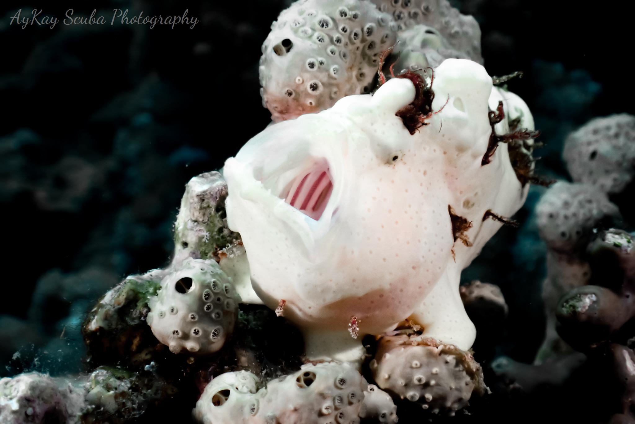 Rückenfleckanglerfisch - ganz wie ich es mir gewünscht habe