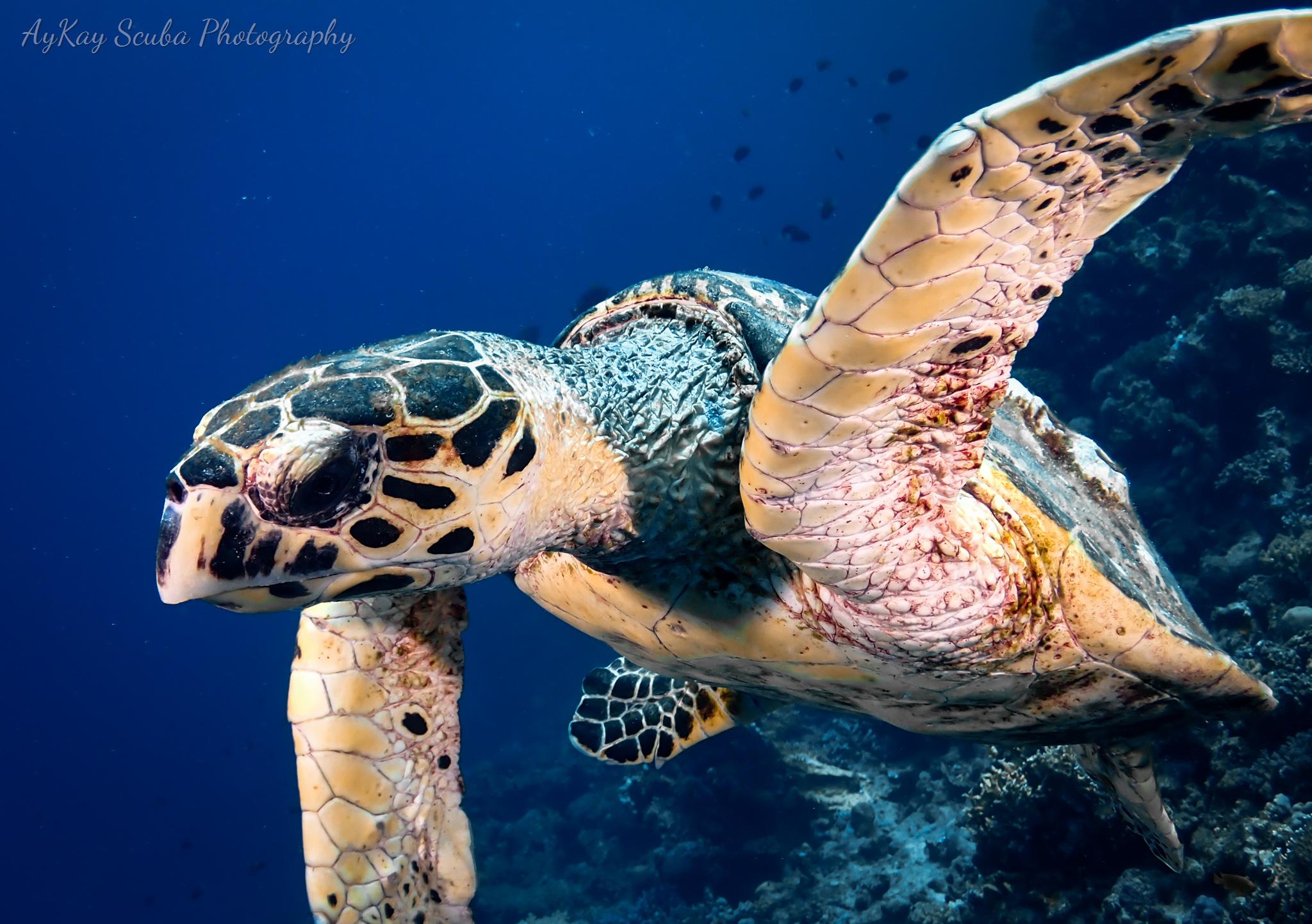 Eine Schildkröte im Hausriff
