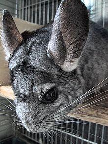 La cabeza de una típica chinchilla doméstica adulta. Cabe destacar su desarrollo adaptado a la vida nocturna de las vibrisas, los ojos y orejas.