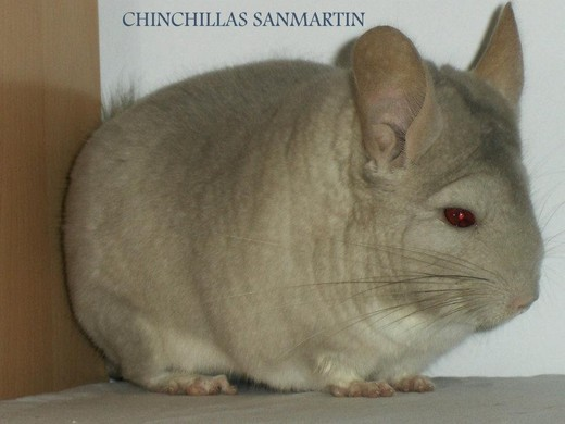 Fuente foto:Chinchillas San Martin