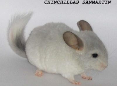 Fuente foto: Chinchillas San Martin