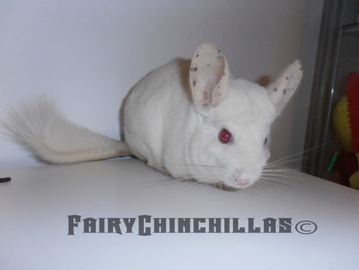 Fuente foto: Fairy Chinchillas