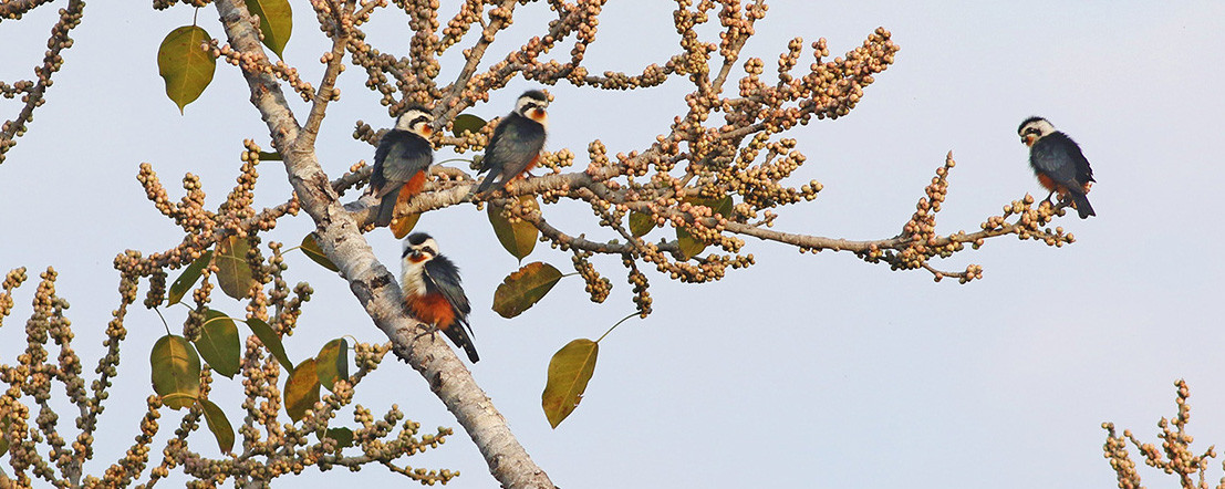 红腿小隼 Collared Falconet  ©  董文晓 Menxiu Tong / 华夏荒野旅行 China Wild Tour