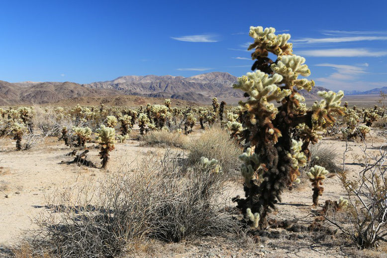 Mojave Wüste, Joshua Tree NP
