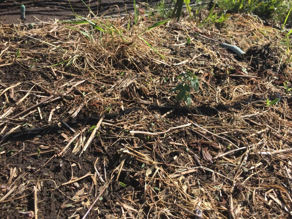 定植したゼウスです。まだ伸びているという感じはないです。根を張ってくれていれば良いのですが。