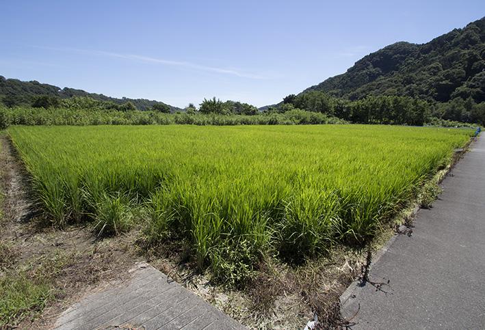 春特集で蔵人・犬塚さんが田植えをする場面を紹介した、大島の山田錦。生育は順調だ!