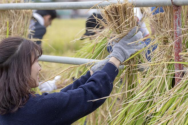 刈った稲はハザ掛けに。みなさん、本当に楽しそう!