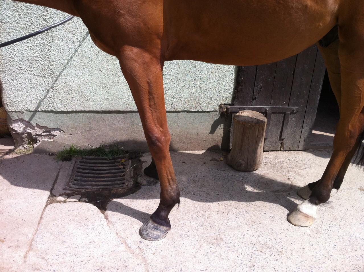 wegen Schmerzen im Rücken stellt dieses Pferd die Vorhand unter den Bauch um die Last von hinten mitzutragen. Das geht zu Lasten der Sehnen und der Schultermuskulatur