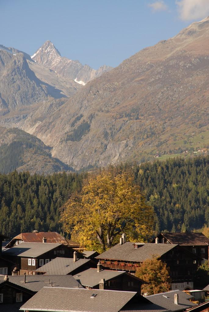 Bergahorn in Ernen