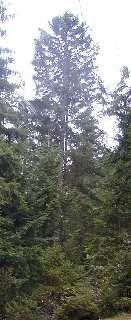 Tanne, die Königin des Waldes
