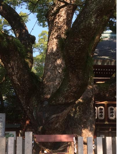 石切剣箭神社・御神木(筆者撮影)