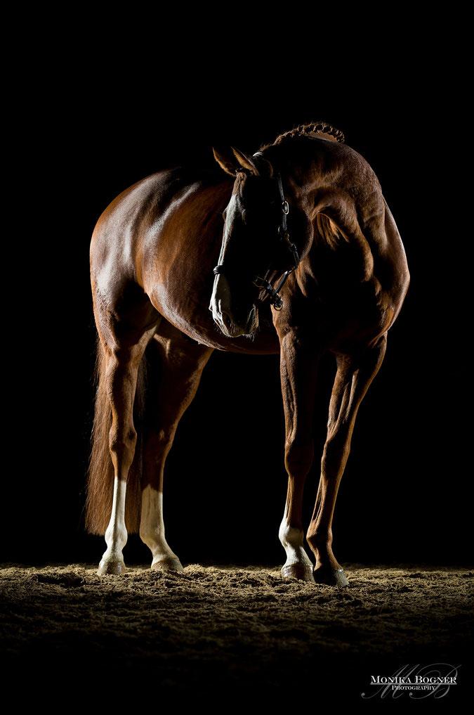 Dressurpferd, Pferde im Studio, Pferde vor schwarzem Hintergrund, Pferdefotografie