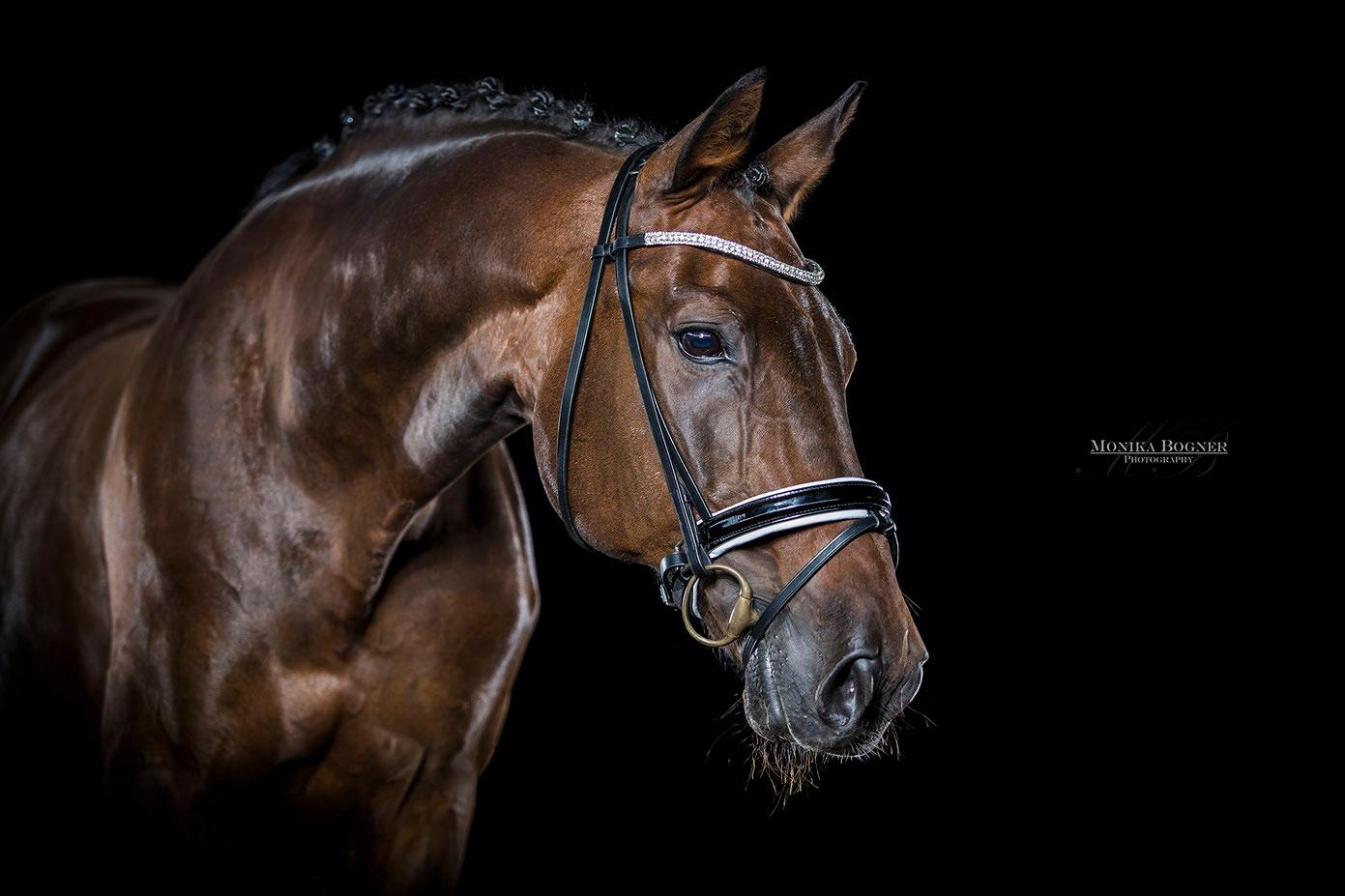 Warmblut, Dressurpferde, Pferde im Studio, vor schwarzem Hintergrund