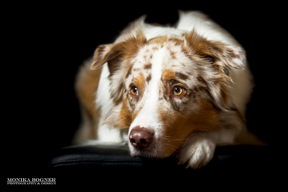 Hunde im Studio vor schwarzem Hintergrund - Hundefotografie