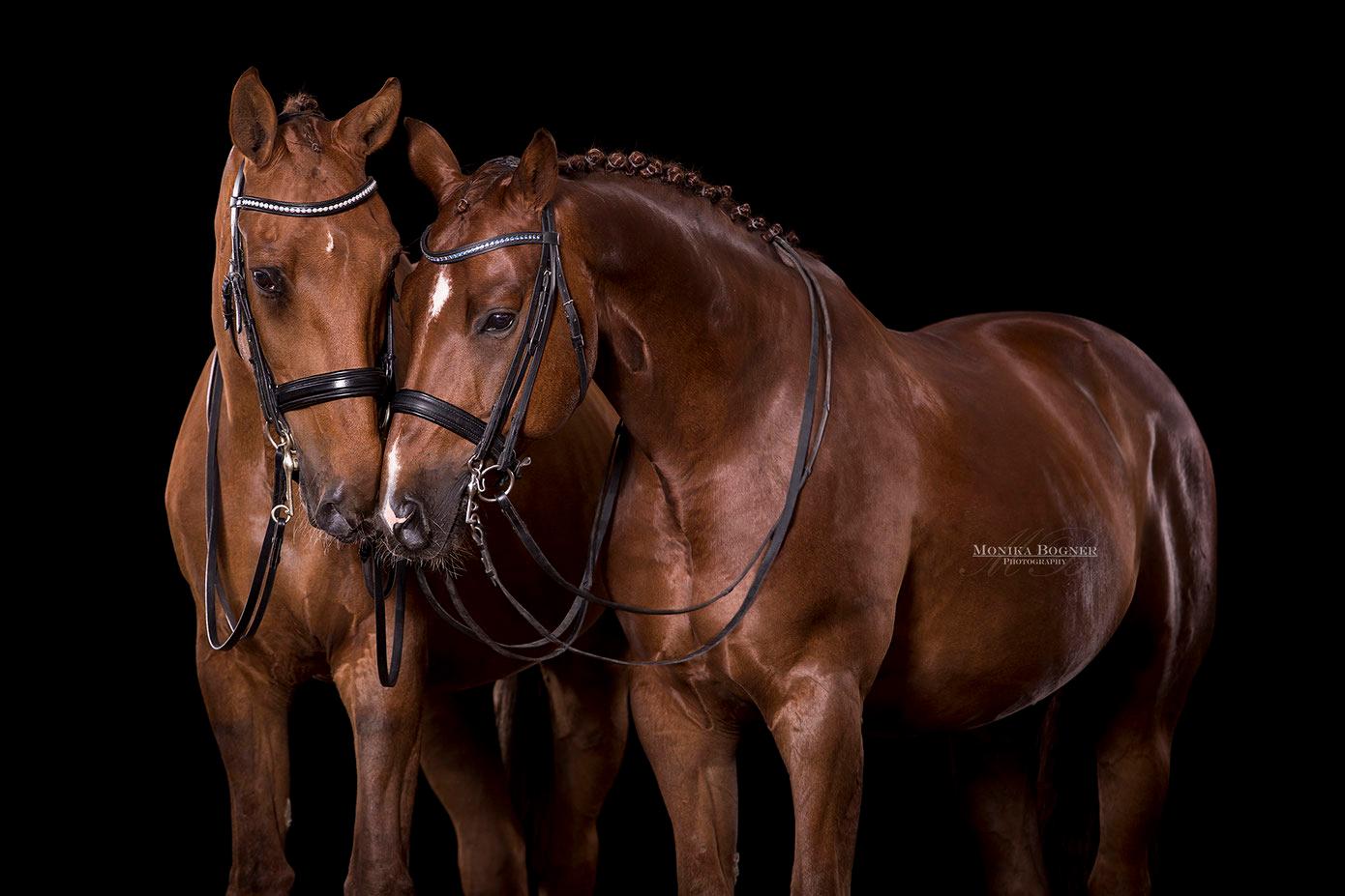 Warmblut, Dressurpferde, Pferde im Studio, Pferde vor schwarzem Hintergrund, Pferdefotografie