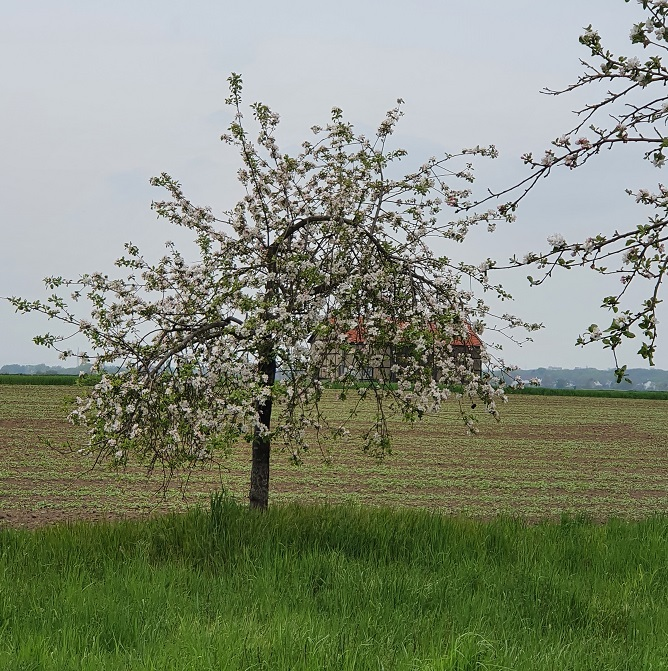 Bäume im Kirch-Acker in voller Blüte