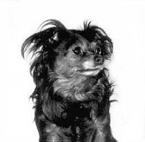 Der erste russische langhaarige Toy-Terrier Chicky