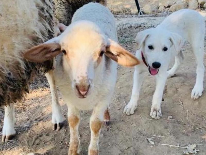 Schafe und Hunde? Geht das gut?
