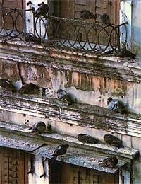 Durchführung von Maßnahmen zur Taubenabwehr: Hier sehen Sie Stadttauben und Kot in und bei den Niststellen. Taubenbefall bedeutet Verunreinigung und Fliegenmaden im Kot. Eigentümer müssen schnellstmöglich handeln.