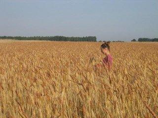 La parcelle de blés anciens